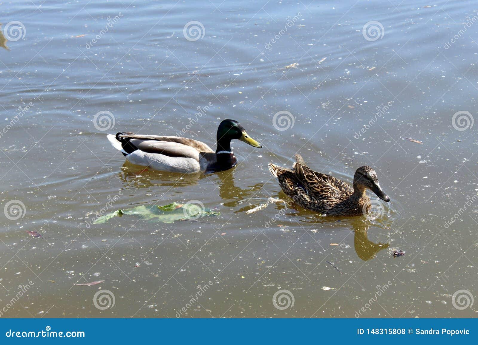 Zwei Enten, die im Fluss schwimmen
