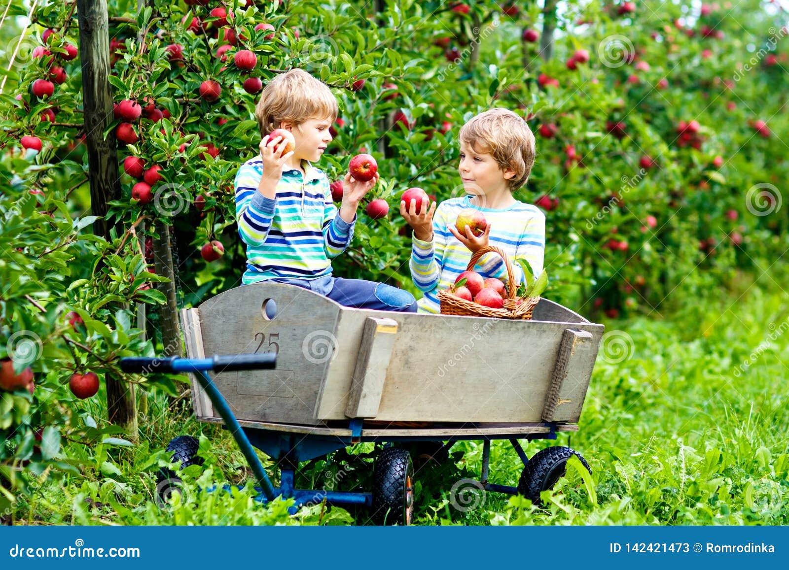 Zwei entzückende glückliche Kleinkindjungen, die draußen rote Äpfel auf Biohof, Herbst auswählen und essen Lustiges kleines
