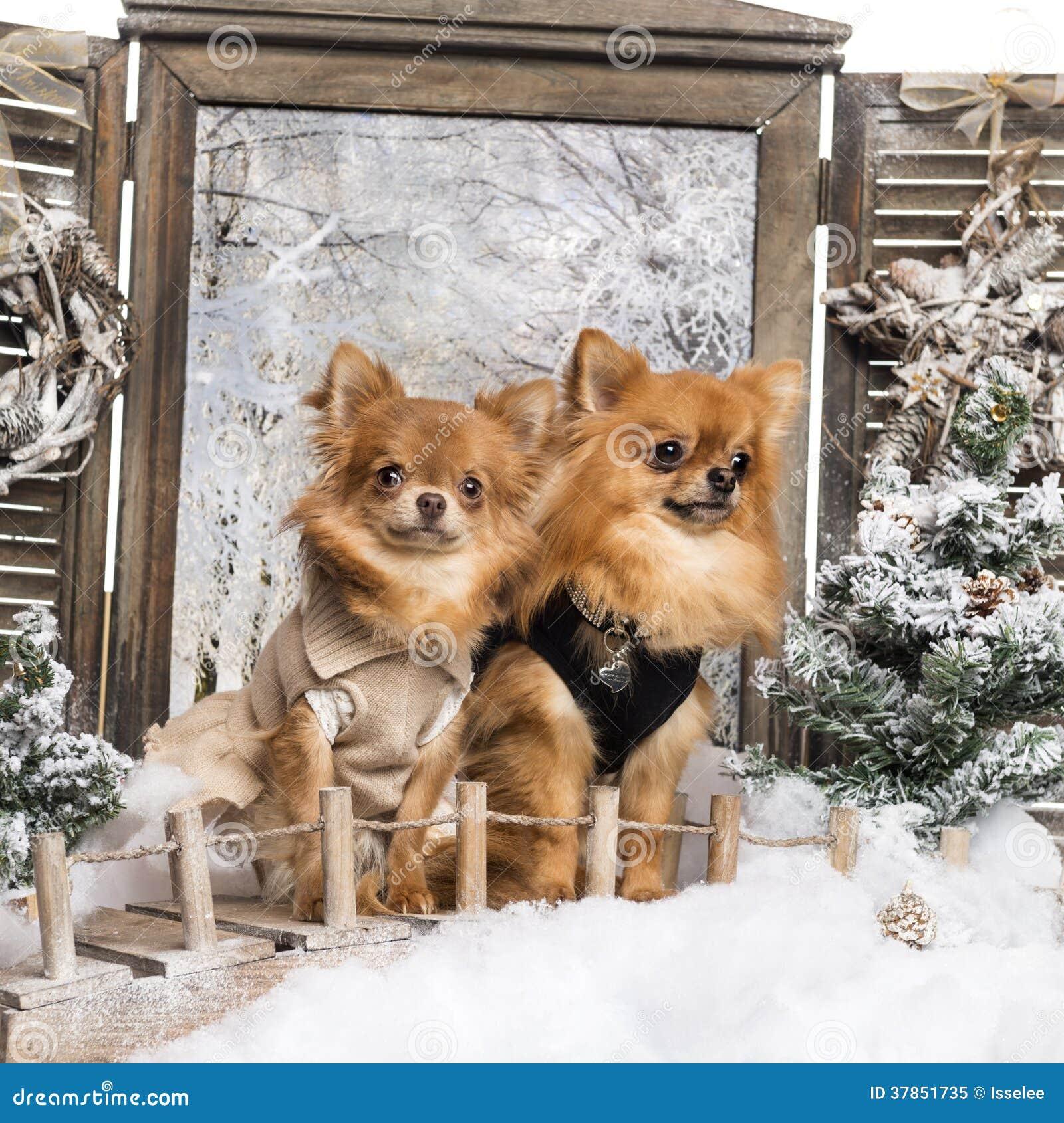 Zwei gekleidete-oben Chihuahua auf einer Brücke