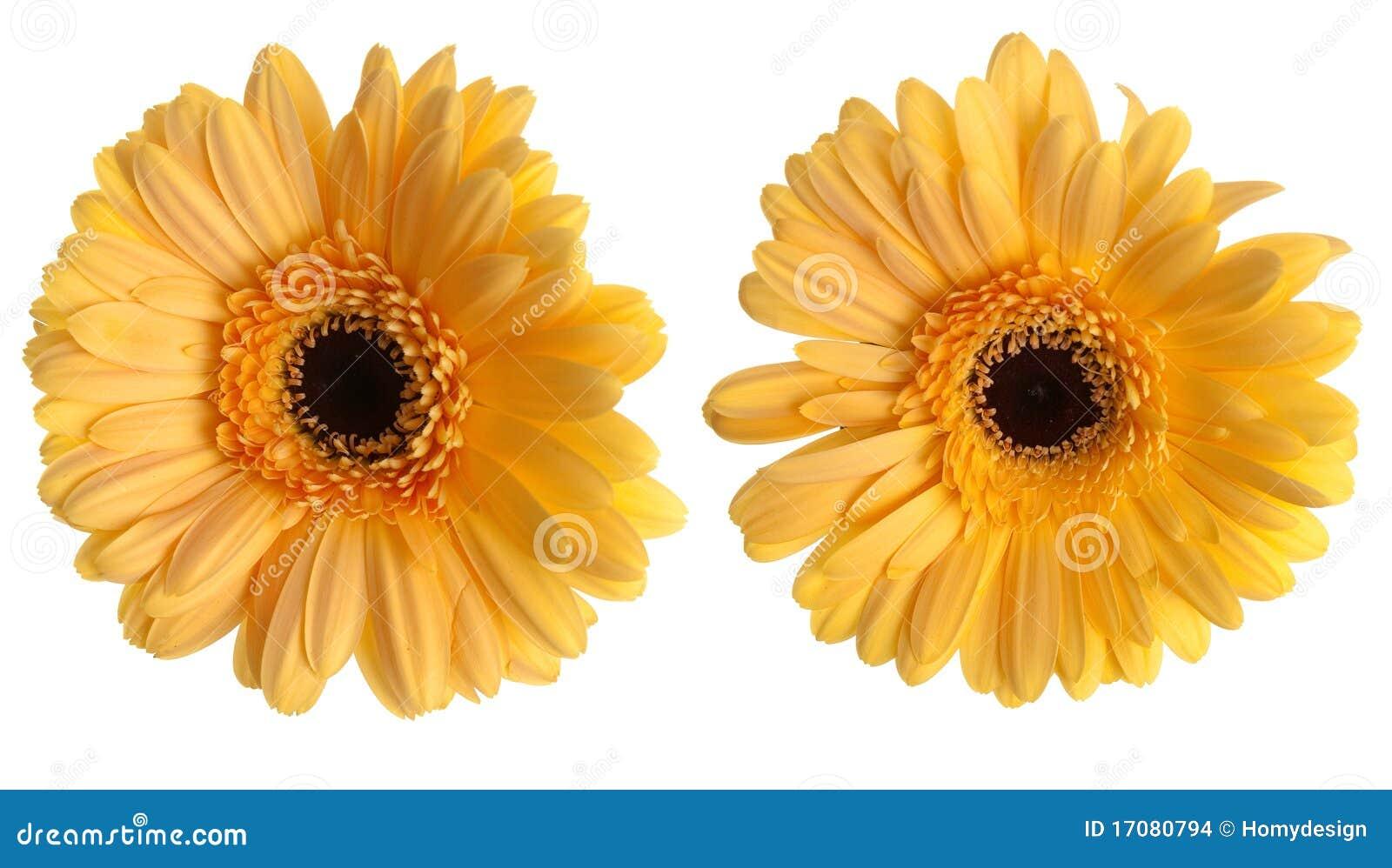 Zwei gelbe Gerberablumen