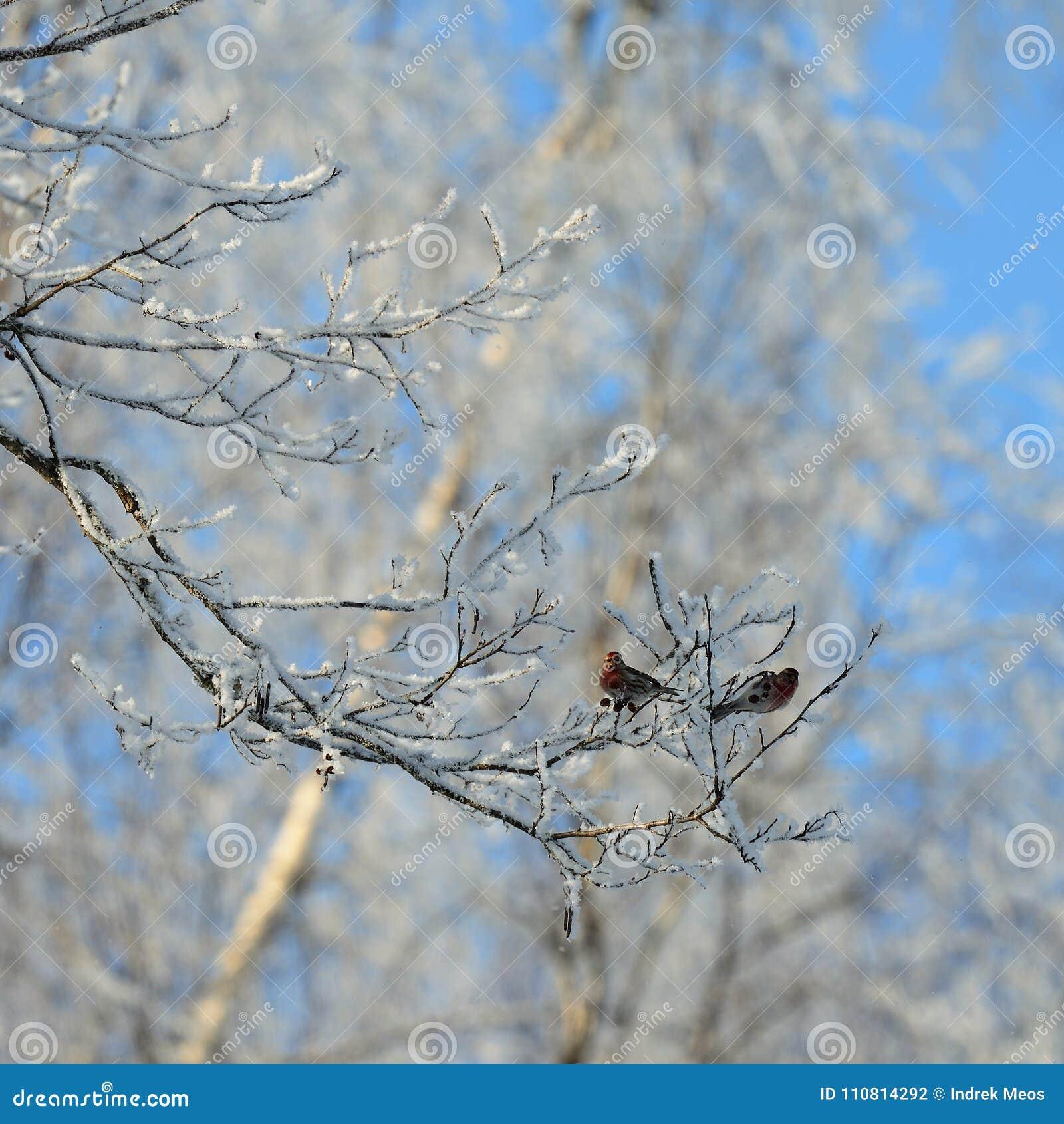 Zwei gemeine Redpolls, die auf einen eisigen Baum sitzen und einziehen