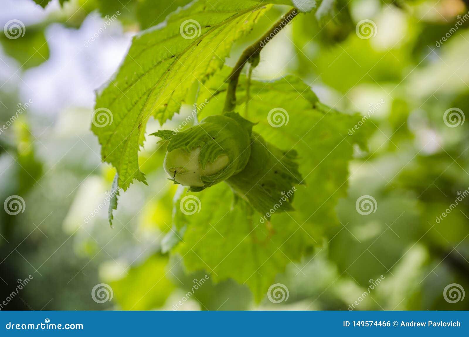 Zwei gr?ne N?sse, die auf einem Baumast, unausgereifte Haselnuss, Corylus Avellana, unscharfer bokeh Hintergrund reifen