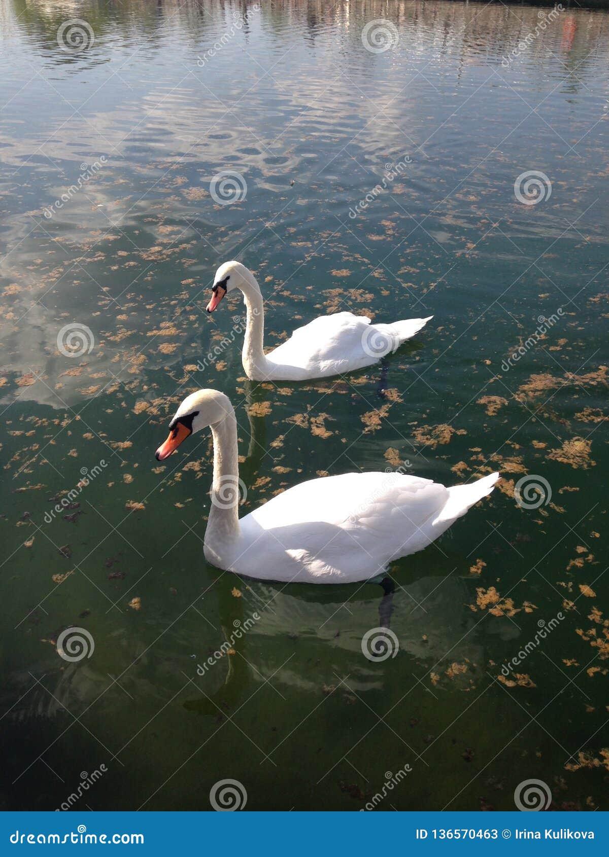 Zwei Höckerschwäne schwimmen auf einem Teich an einem sonnigen Tag Vertikales Foto