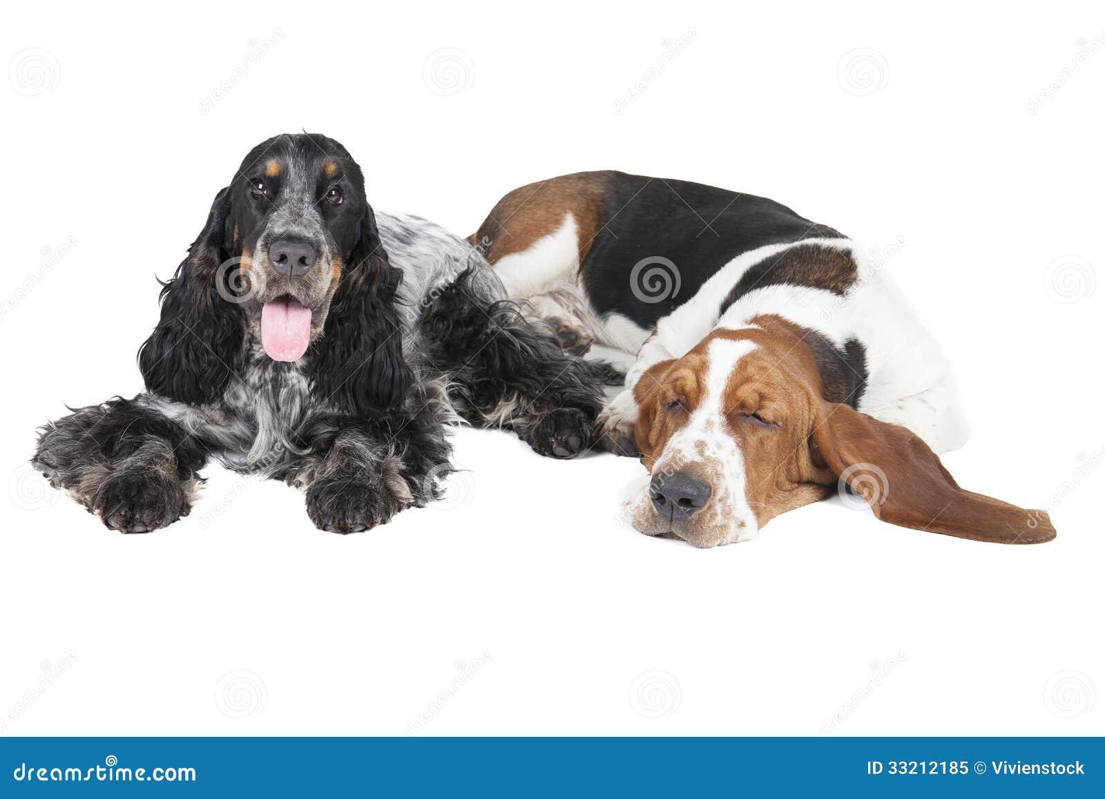 zwei hunde basset und englisch cocker spaniel lizenzfreies stockfoto bild 33212185. Black Bedroom Furniture Sets. Home Design Ideas