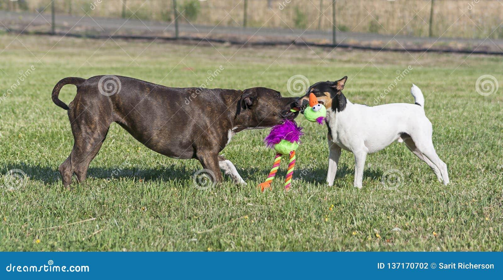 Zwei Hunde, die Tauziehen in einer Weide spielen