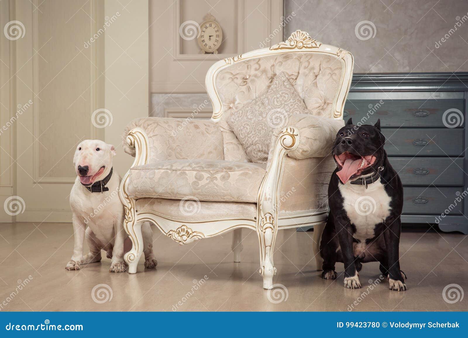 Zwei Hunde Schwarzer Pitbull Oder Staphorshireterrier Und Weiße