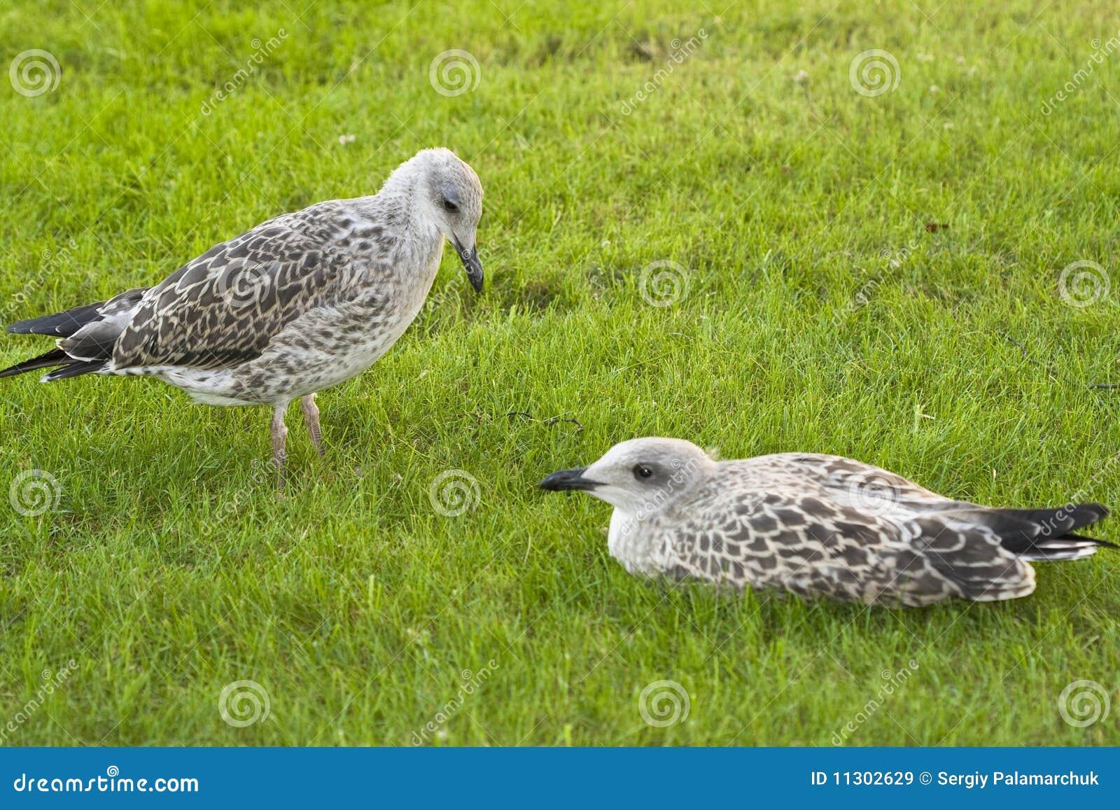 Zwei junge Seemöwen