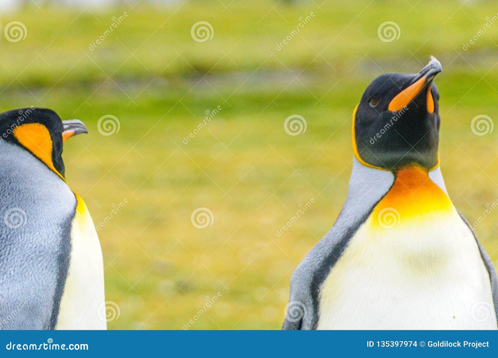 Zwei König Penguins
