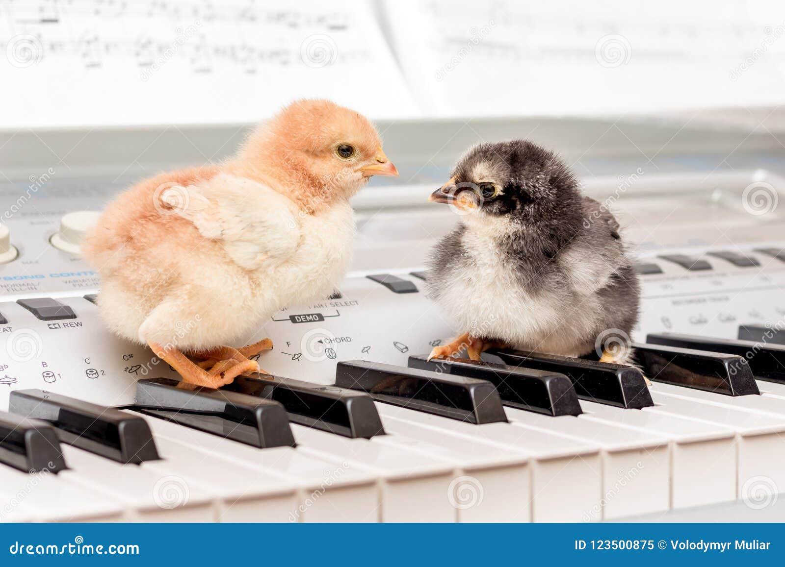 Zwei Küken auf den Klavierschlüsseln Ausführung eines musikalischen Spiels mit einem d