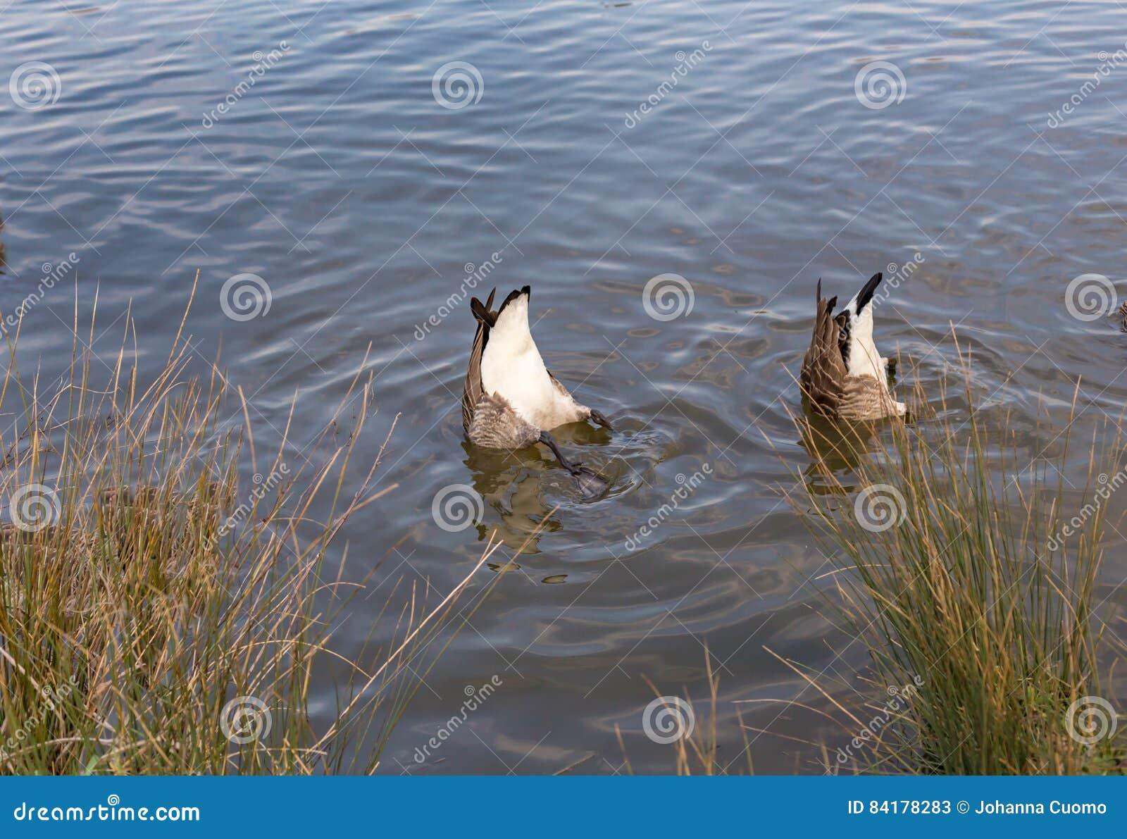 Zwei kanadische Gänse, Unterseiten oben im See