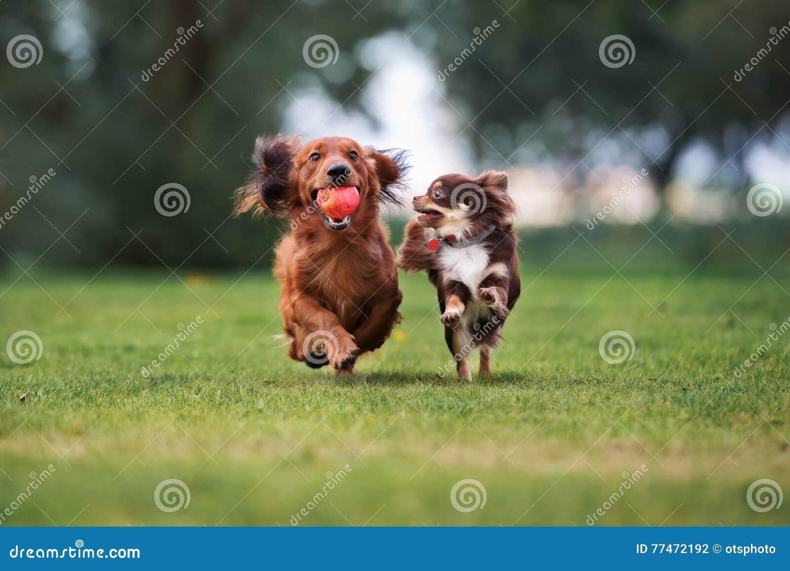 Zwei kleine Hunde, die draußen laufen