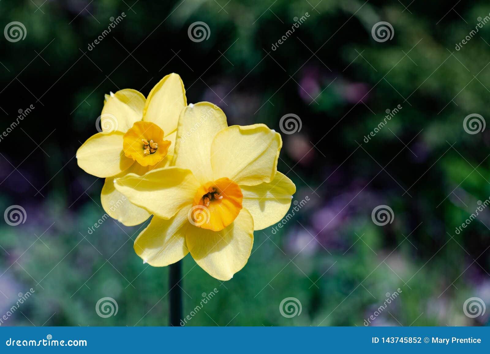 Zwei kleine Ostern-Narzissenbirnen Frühling der helles, glückliches, nettes, gelbes Goldorange kleinen Schale einzigartige, die h