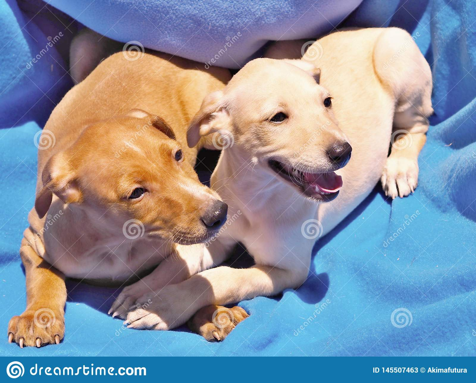 Two Labrador Puppies Clinging To Each Other Lie On A Blue Blanket In The Sun Stock Image Image Of Blue Left 145507463