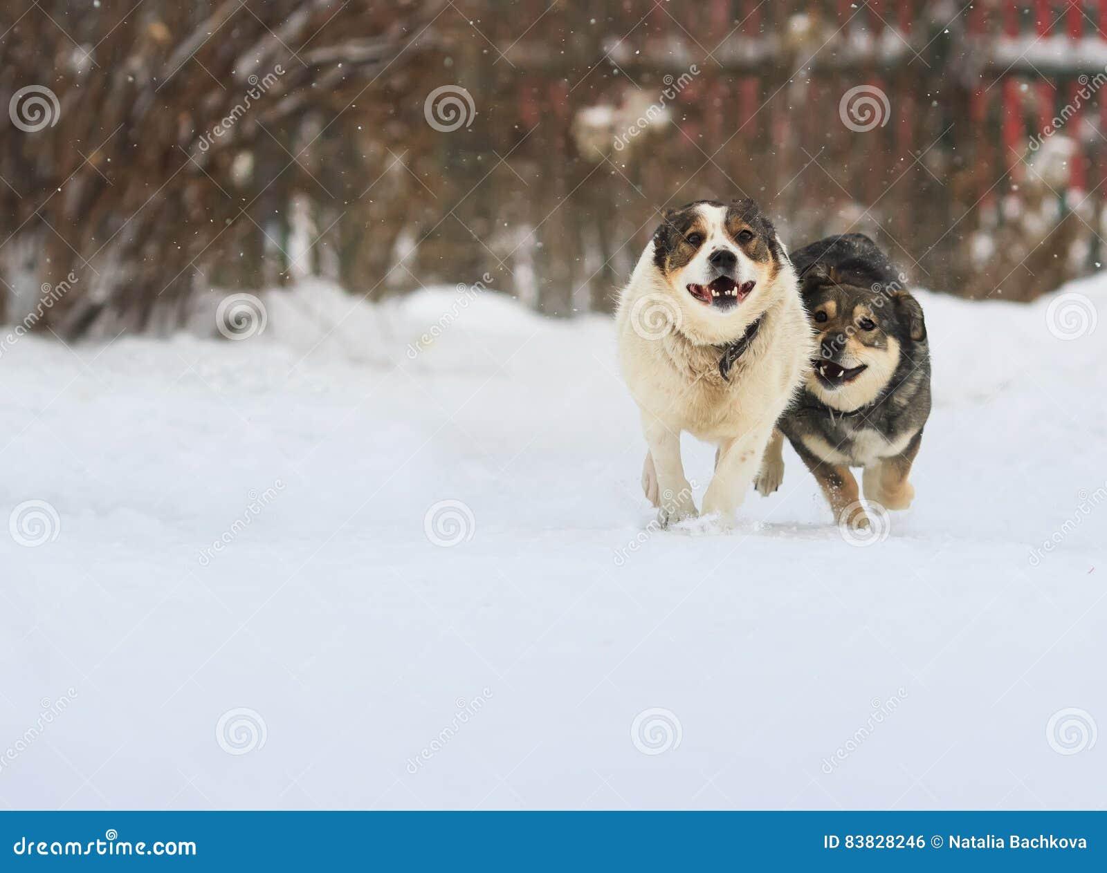 Schnee Lustige Bilder.Zwei Lustige Hunde Laufen Glucklich Uber Den Weissen Schnee