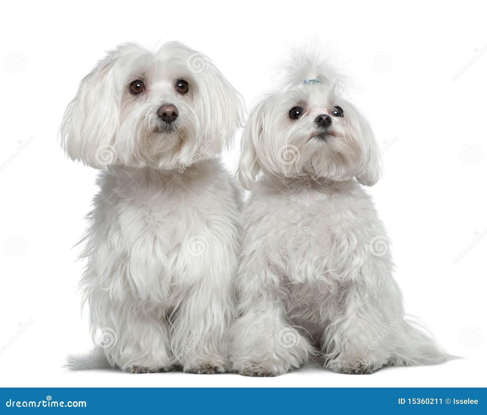Zwei maltesische Hunde