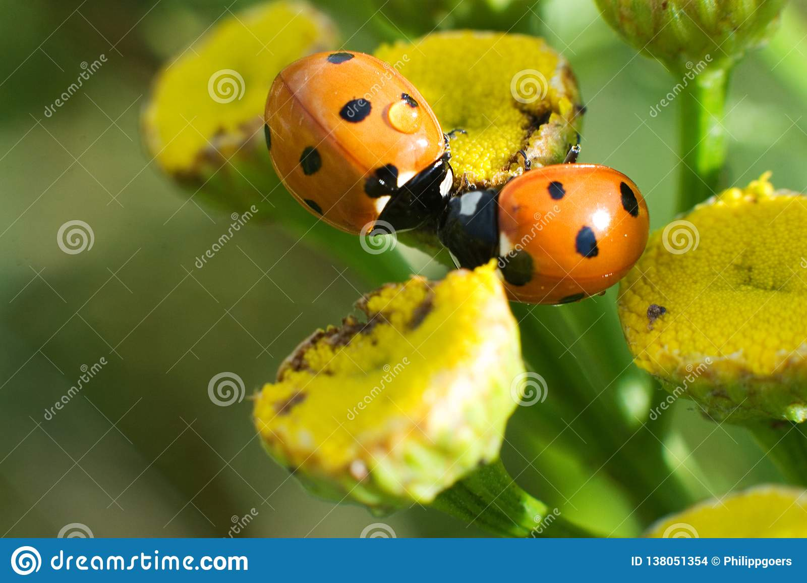 Zwei Marienkäfer küsst sich