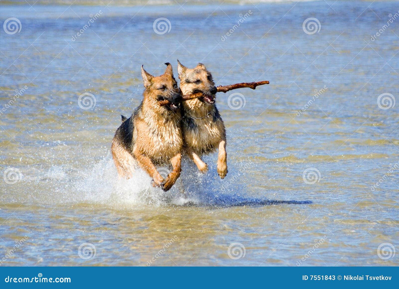 Zwei nasse Deutschland-Schäferhunde