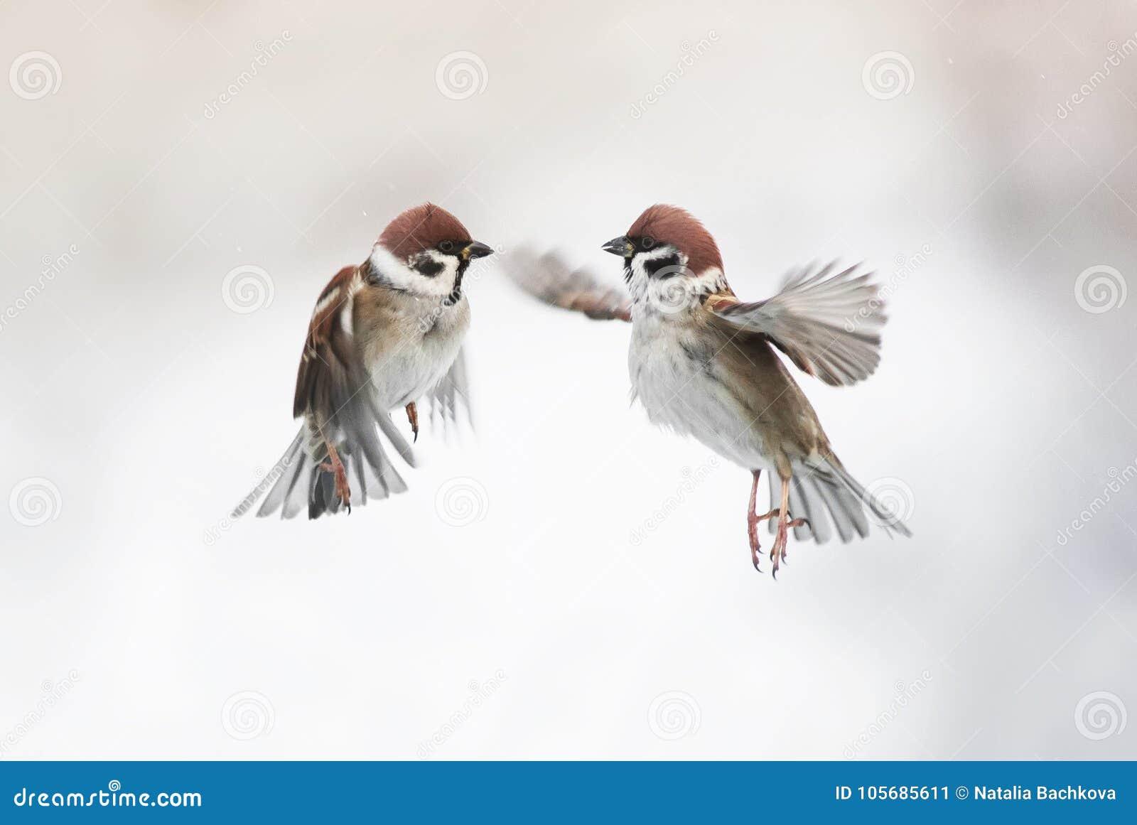 Zwei nette kleine Spatzenvögel, die in die Luft und in verbreitete ihr fliegen