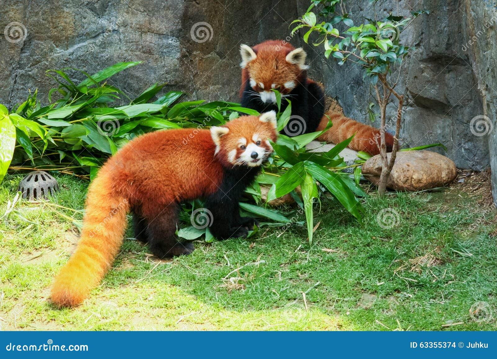 Zwei Nette Rote Pandas Die Bambus Essen Stockfoto Bild Von