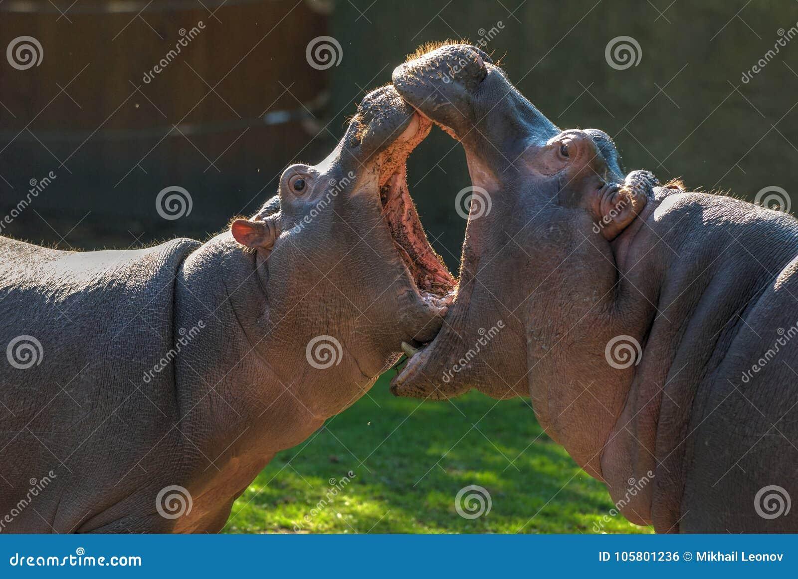 Zwei Nilpferde mit offenen Mündern, deren Mund größer ist Kleiner Nilpferdkampf Tierpflege Lustige vegetarische wilde Tiere