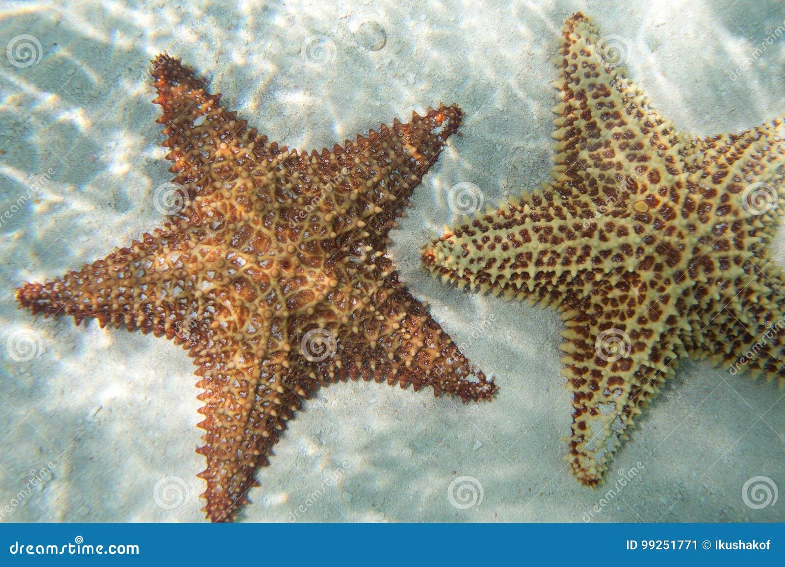 Zwei oange starfishs in einem Türkiswasser