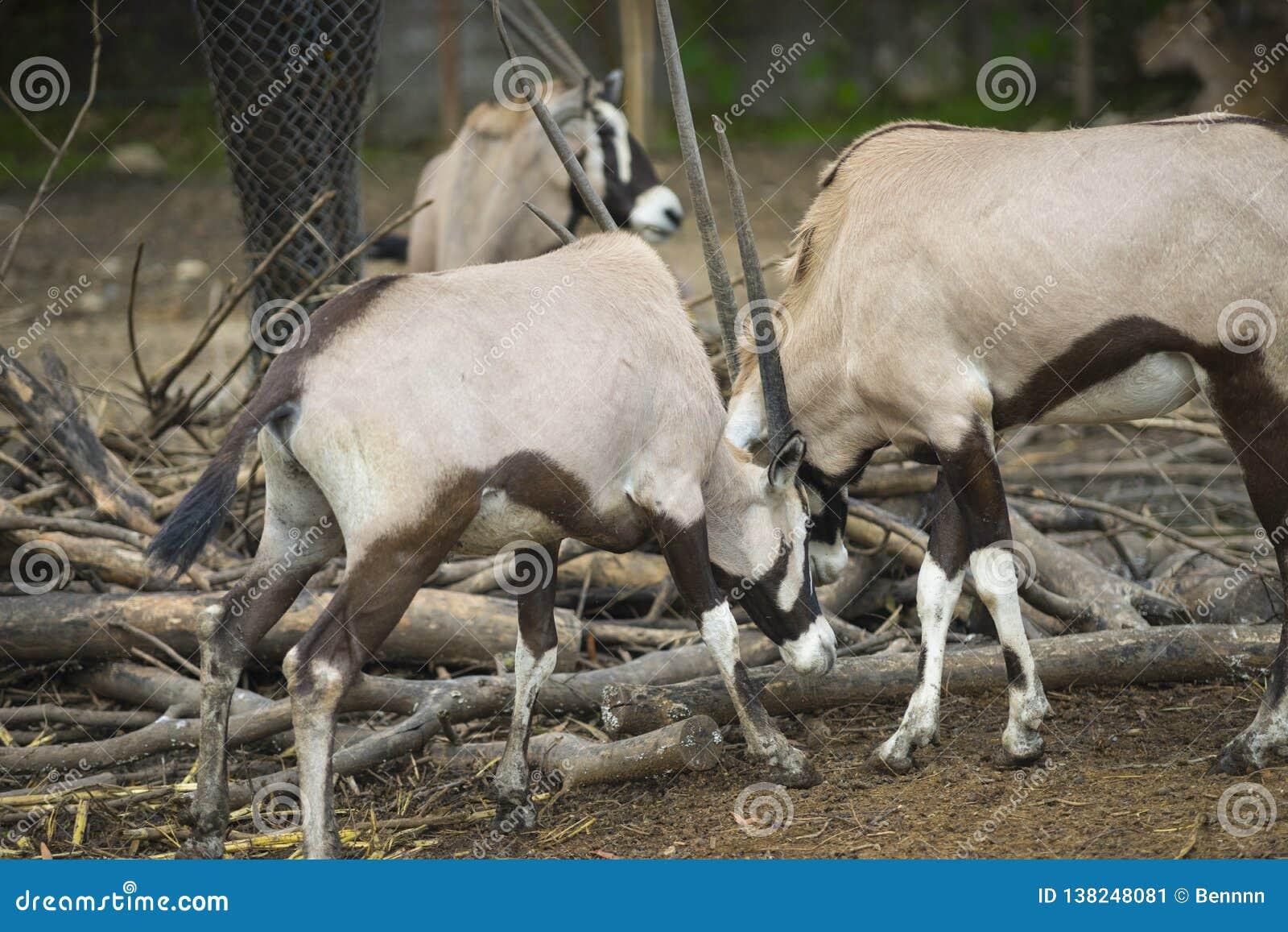 Zwei Orxy, das im Gras kämpft