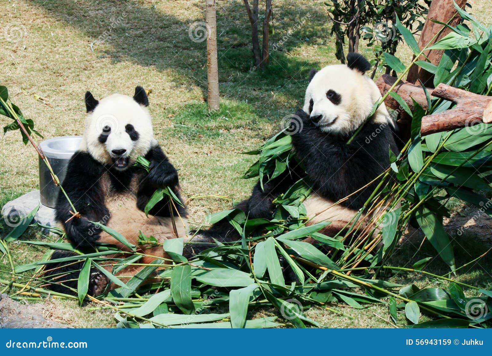 Zwei Pandas Die Bambus Essen Stockbild Bild Von Nett Panda 56943159