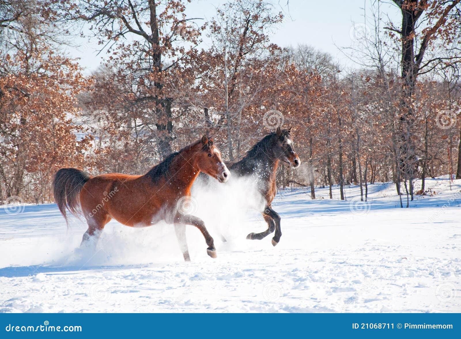 zwei pferde die im tiefen schnee aufladen stockbild bild von sch n gelding 21068711. Black Bedroom Furniture Sets. Home Design Ideas