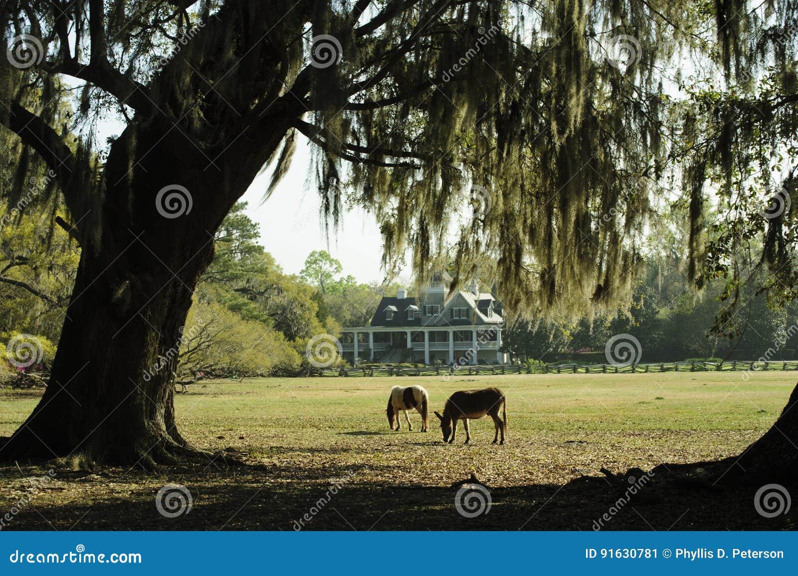 Zwei Pferde Lassen In Einem Südlichen Garten S Mit Live Oak Trees