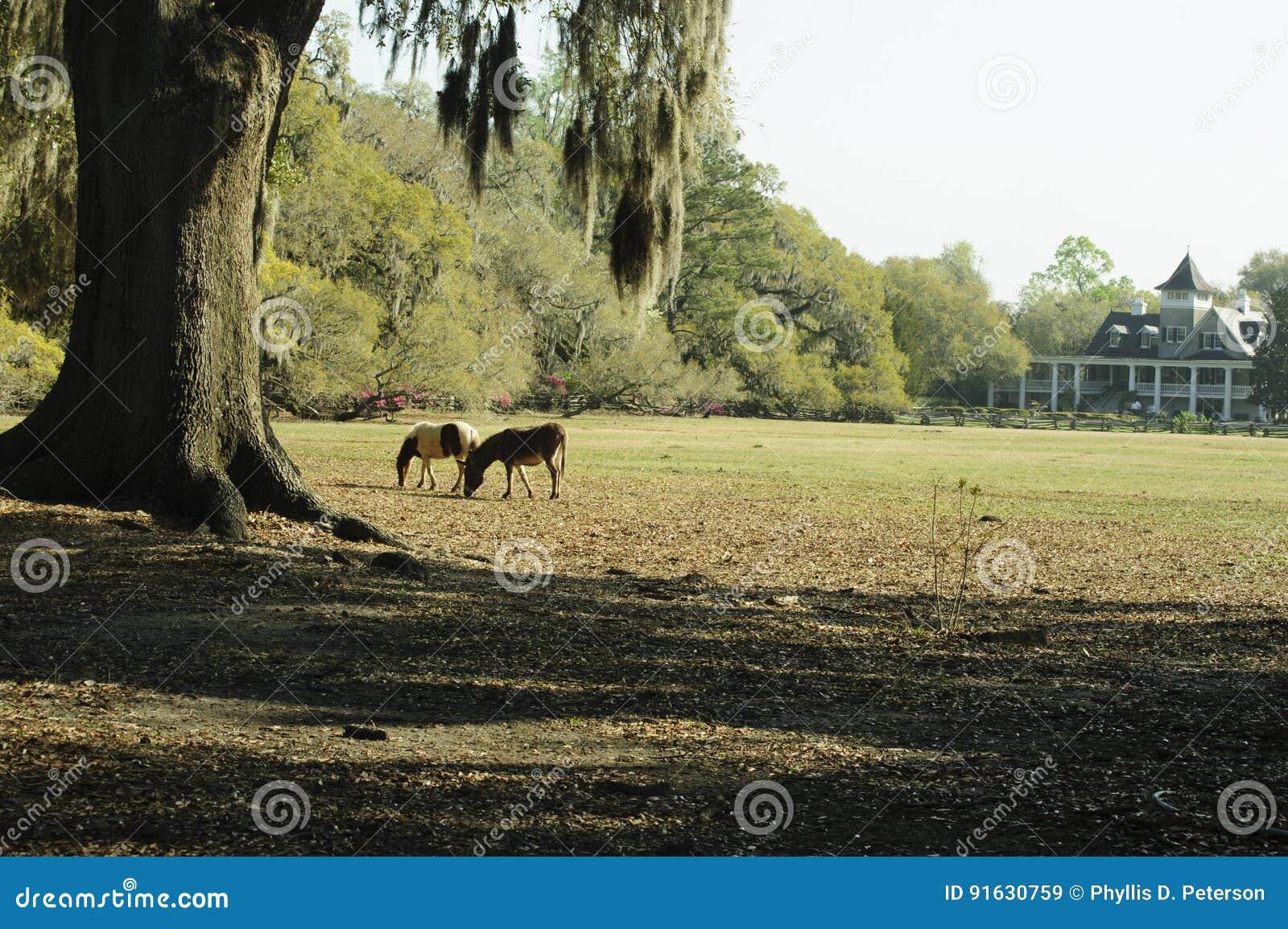 Zwei Pferde Lassen Unter Einem Alten Baum Im Frühjahr Weiden