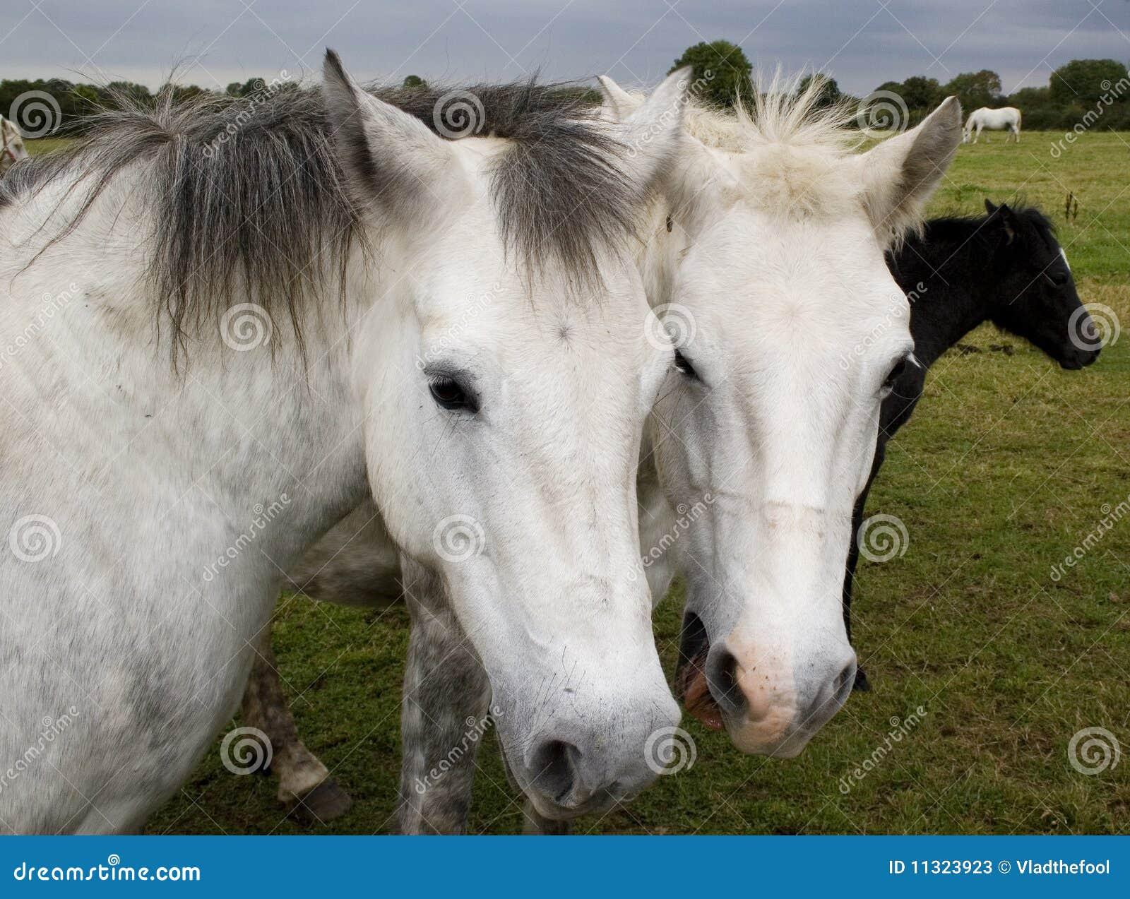 Zwei Pferde vertraulich