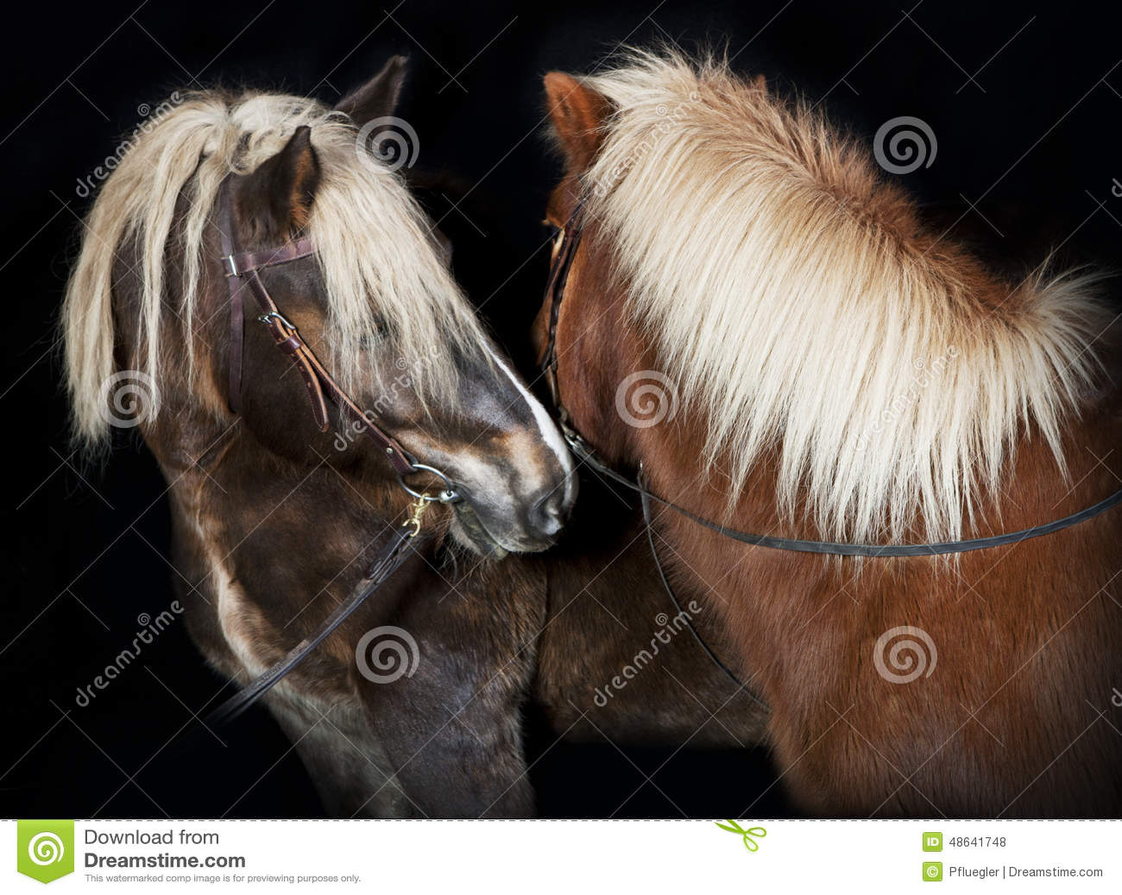 Top Zwei Pferde Vor Schwarzem Hintergrund Stockfoto - Bild von @DT_03
