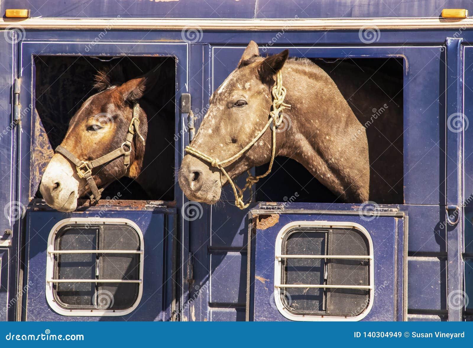 Zwei Pferdeköpfe, die aus Fenstern des alten rostigen Viehbestandanhängers - Nahaufnahme heraus haften