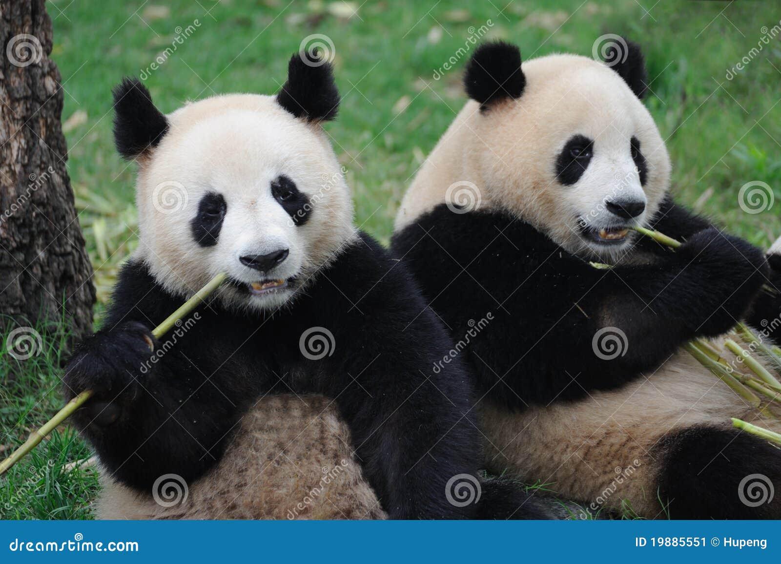 Zwei Reizende Pandas Die Bambus Essen Stockbild Bild Von Riesig