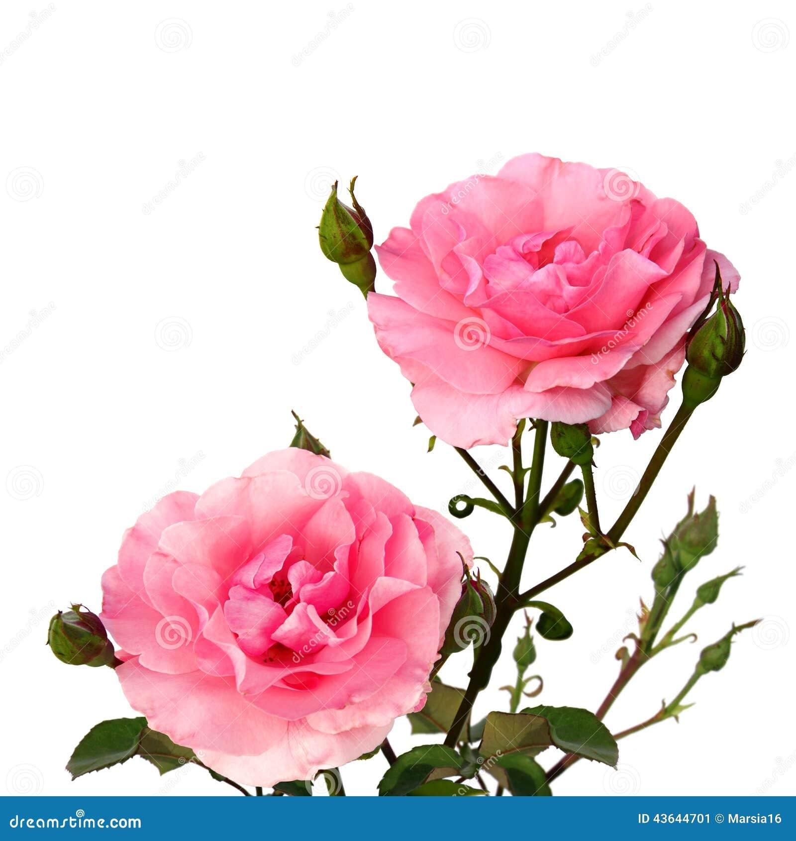 zwei rosa rosen auf wei stockbild bild von leben gl ckwunsch 43644701. Black Bedroom Furniture Sets. Home Design Ideas