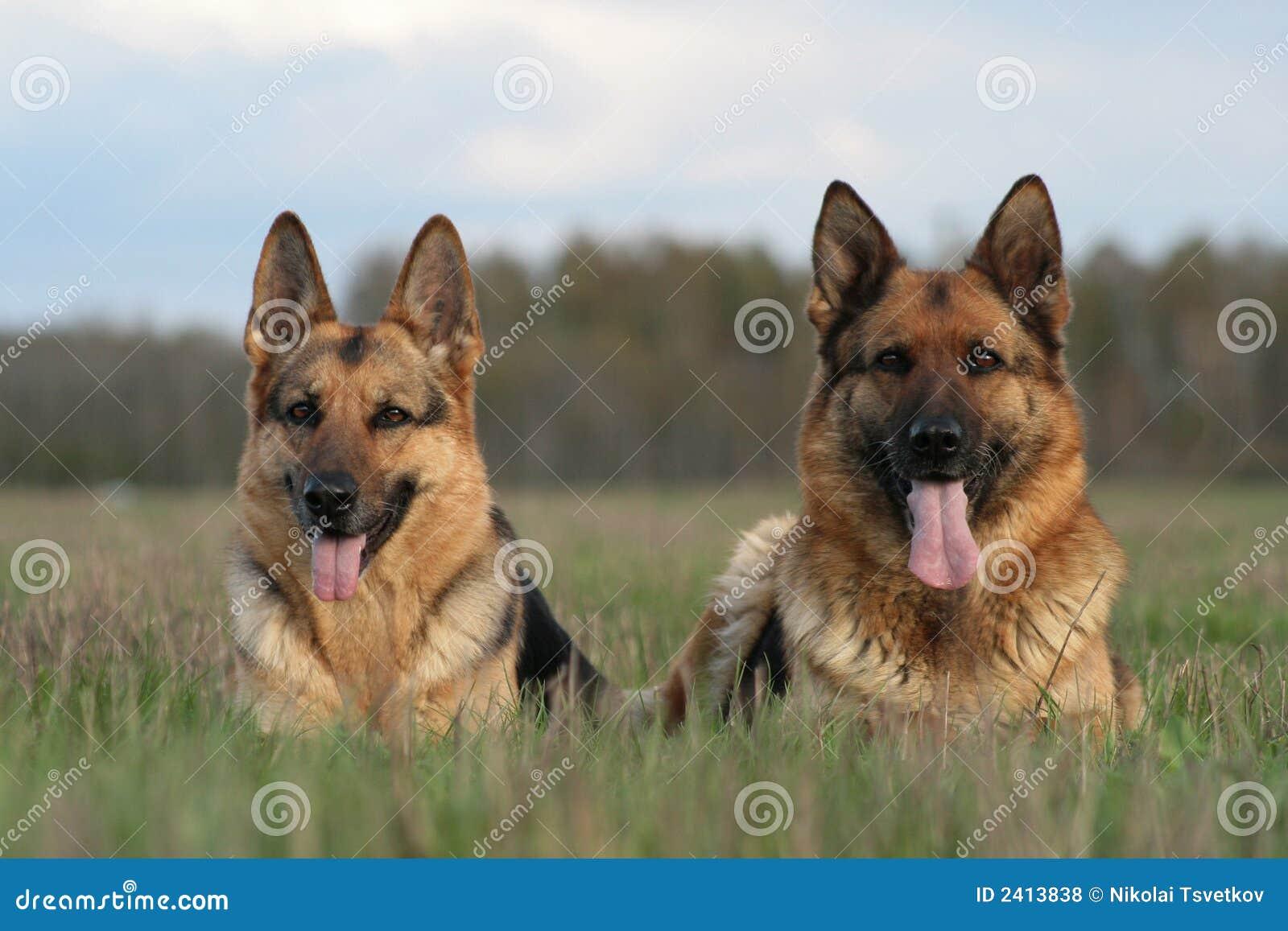 Zwei Schäferhunde