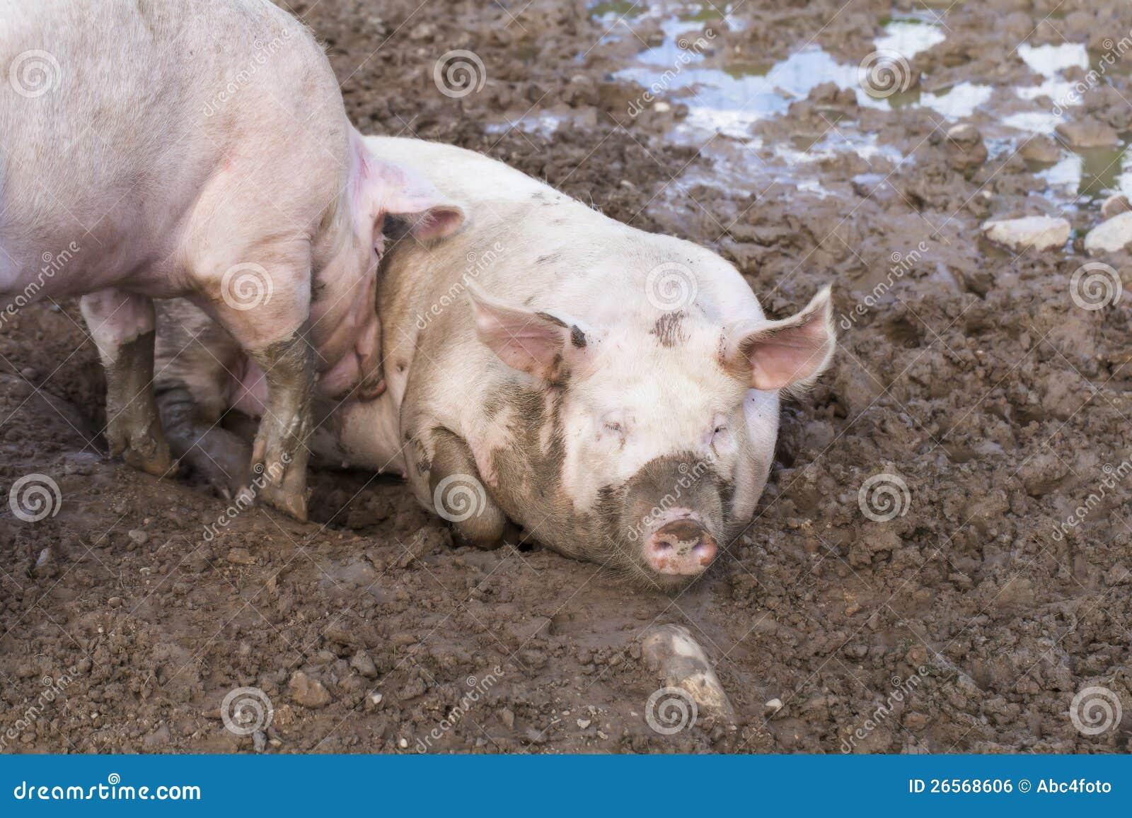 Zwei Schweine, Die Im Schlamm Schlafen Stockfoto - Bild