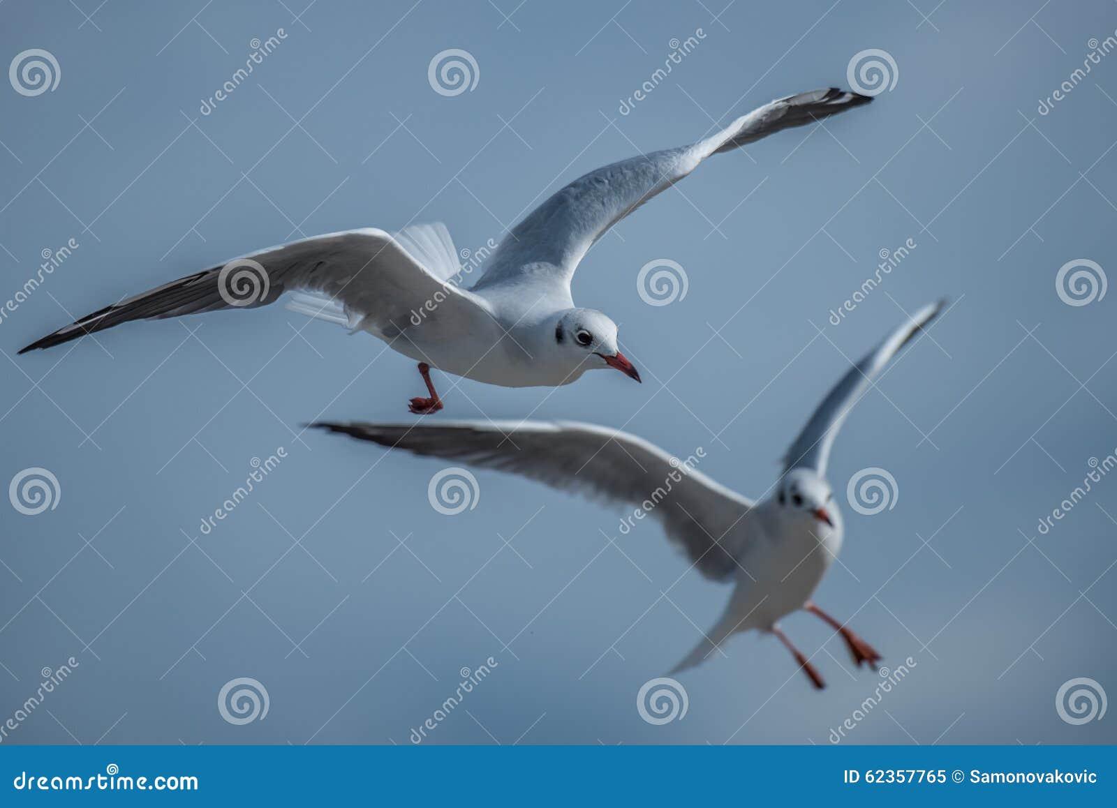 Zwei Seemöwen, die Manöver landen