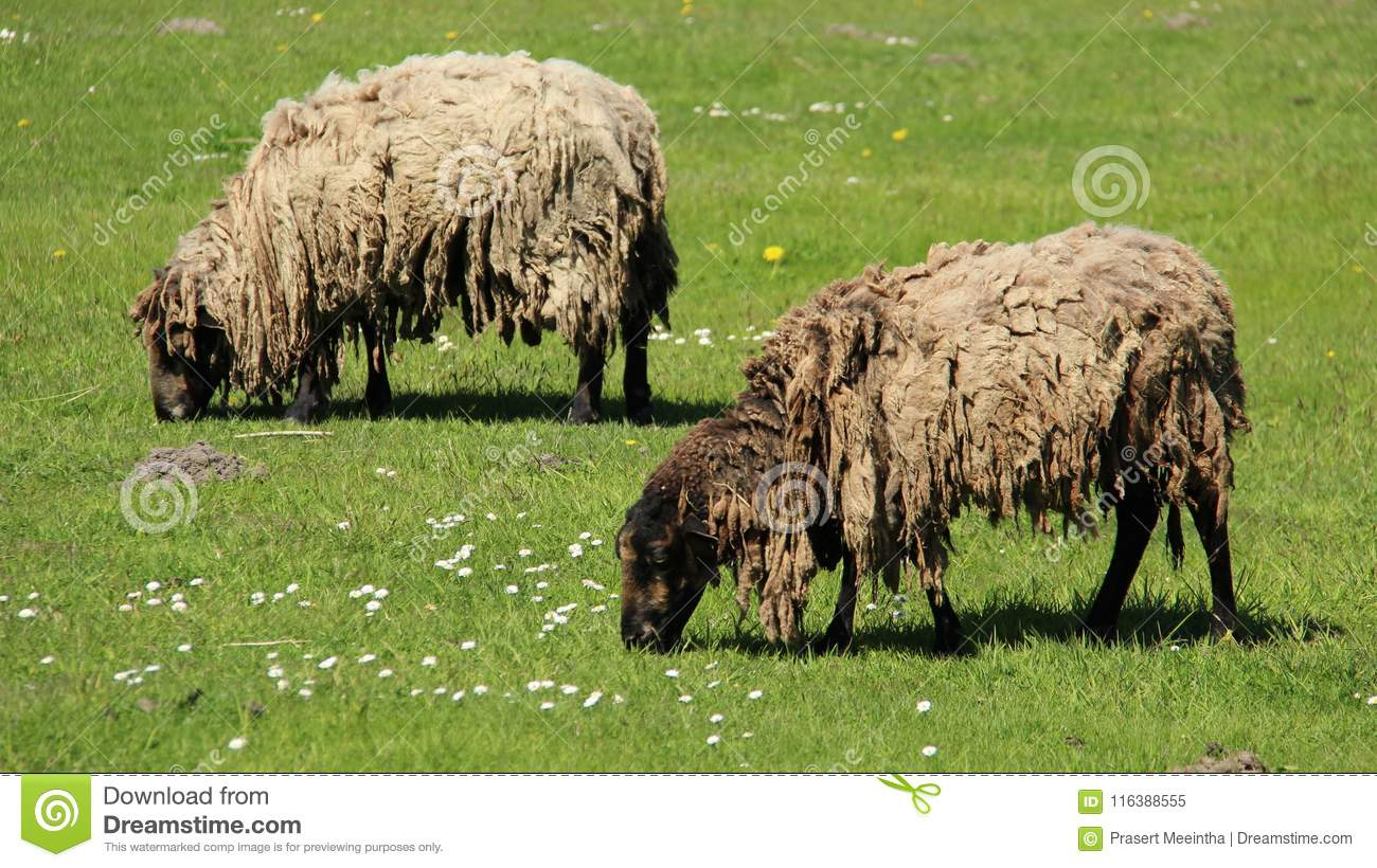 Zwei Shaggy Sheep Graze With Happiness
