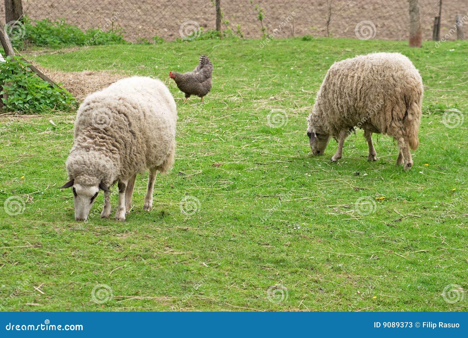 Zwei sheeps und Huhn