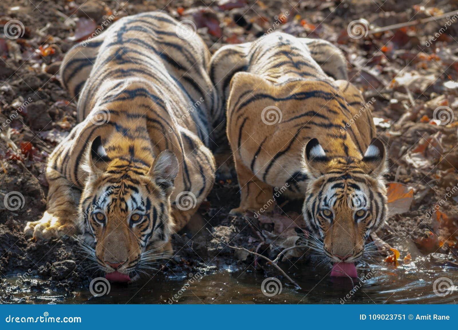 Zwei subadult Tiger, die Wasser bei Waterhole driking sind