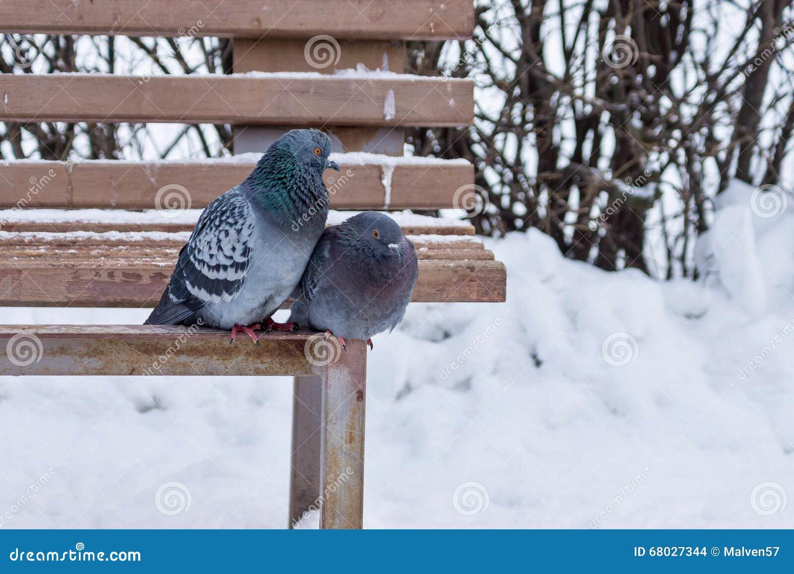 zwei tauben sitzen auf einer holzbank im winterpark. Black Bedroom Furniture Sets. Home Design Ideas