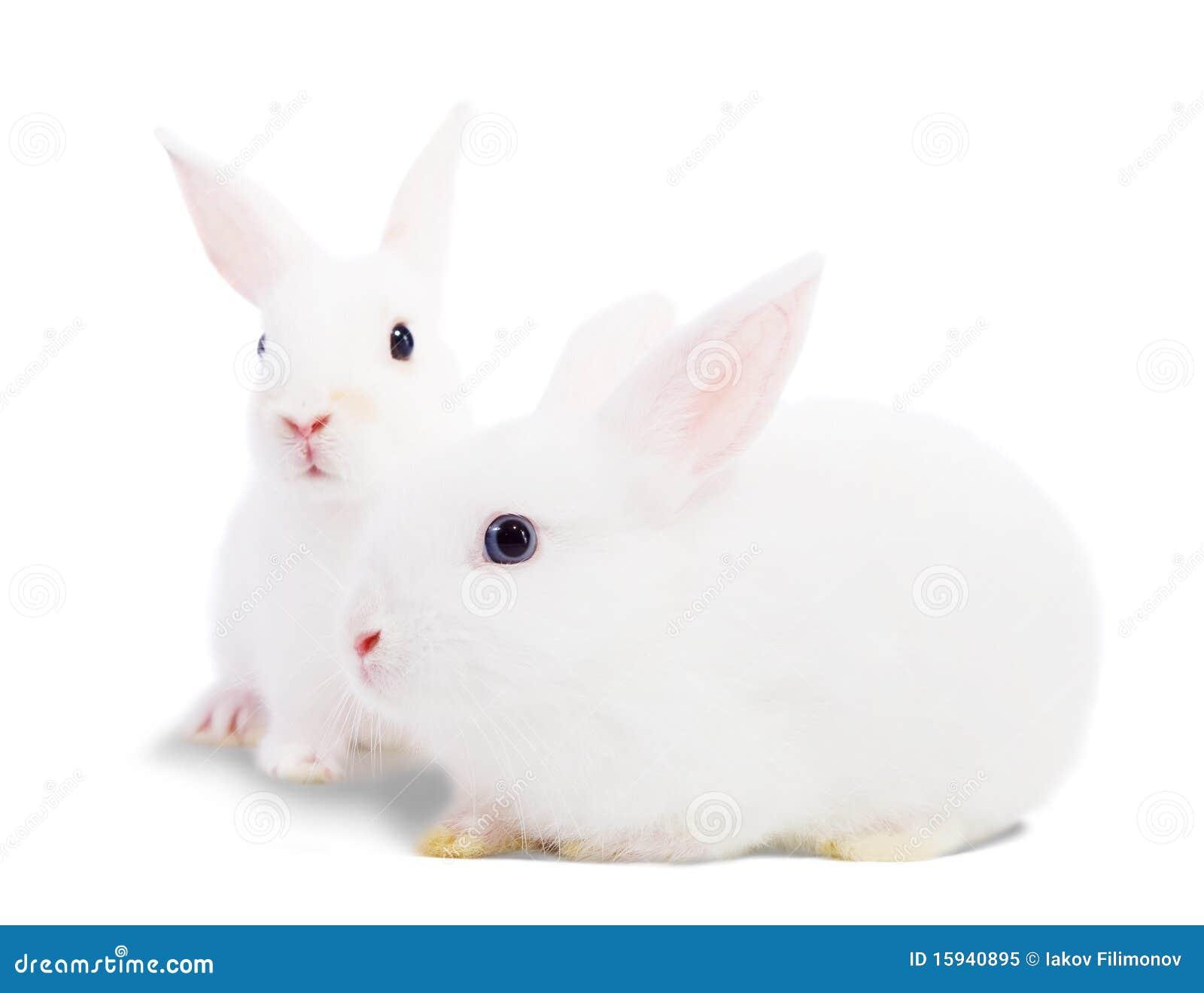 Zwei weiße Kaninchen