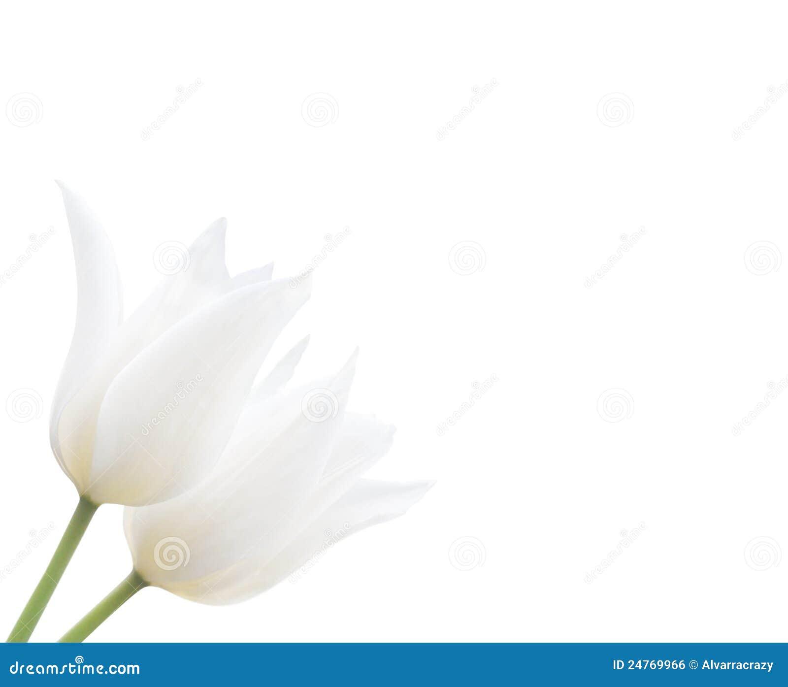zwei wei e tulpen getrennt auf wei lizenzfreies stockbild bild 24769966. Black Bedroom Furniture Sets. Home Design Ideas