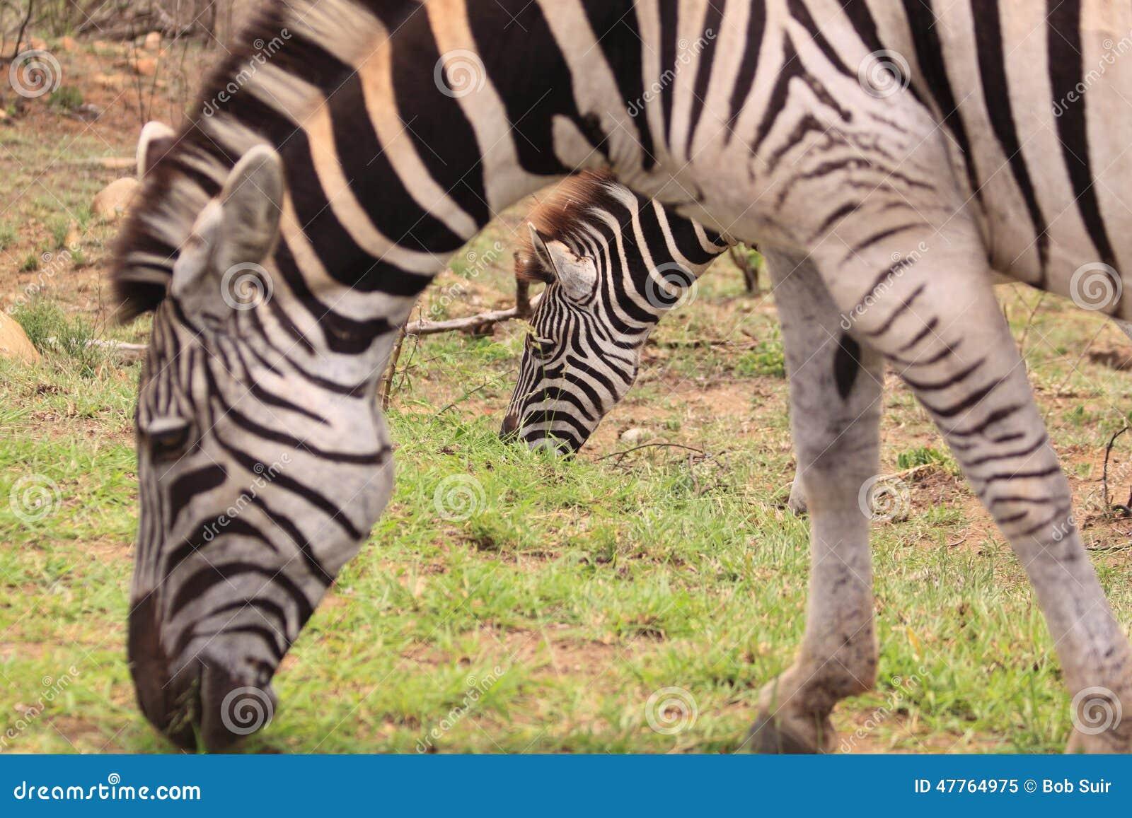 Zwei wilde Zebras
