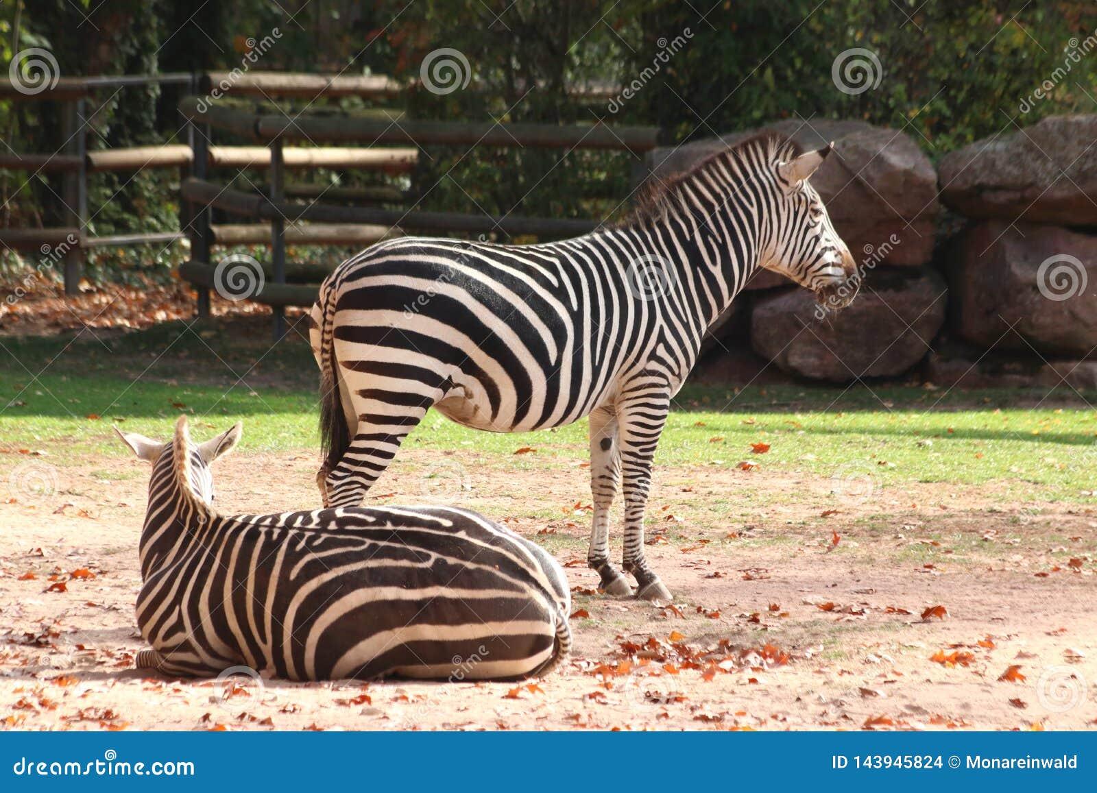 Zwei Zebras, die im Zoo in Nürnberg stehen