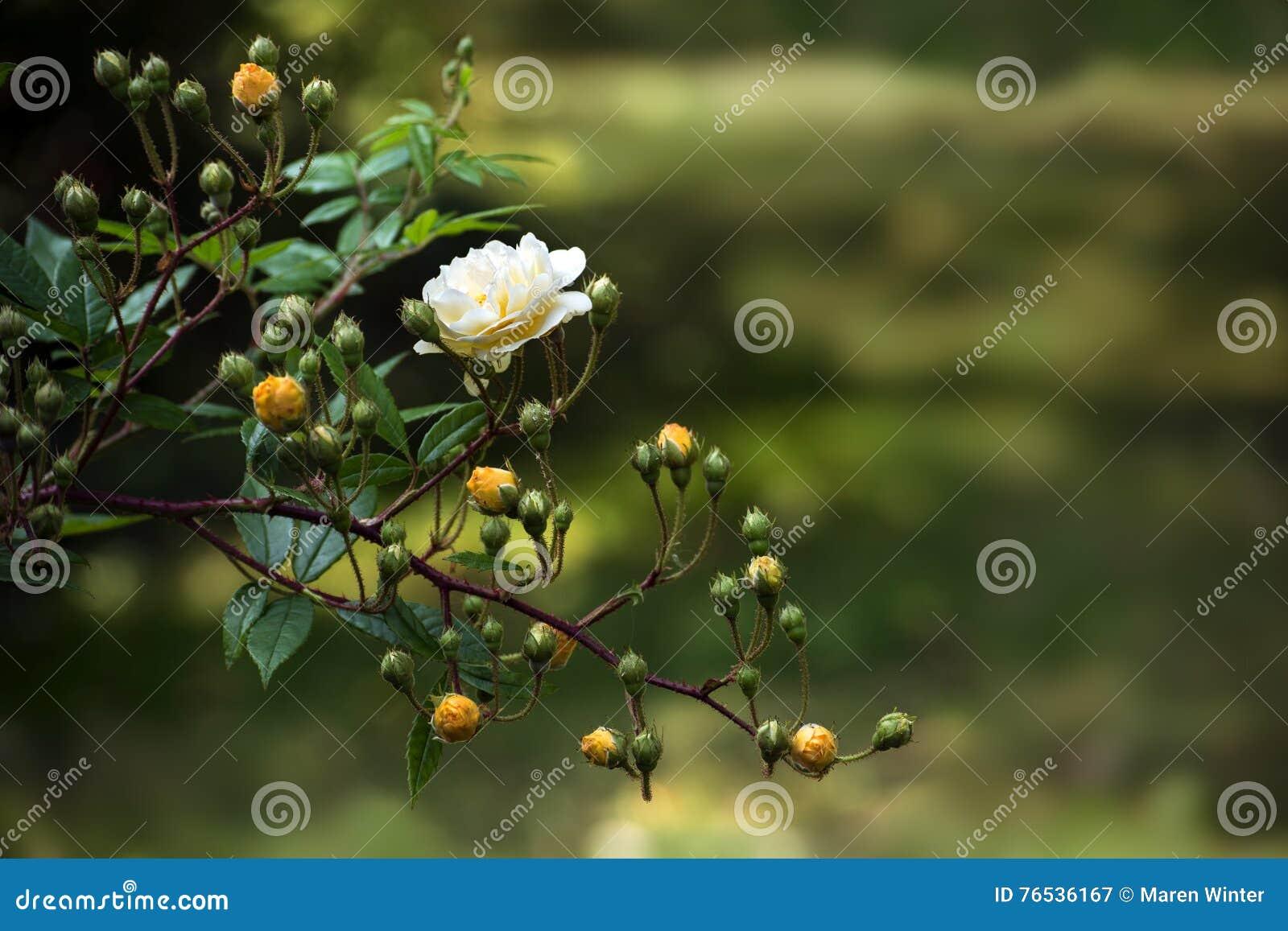 Zweig mit empfindlichen Rosen und den Knospen in der hellen gelben Aprikose u. in x28; Hybr