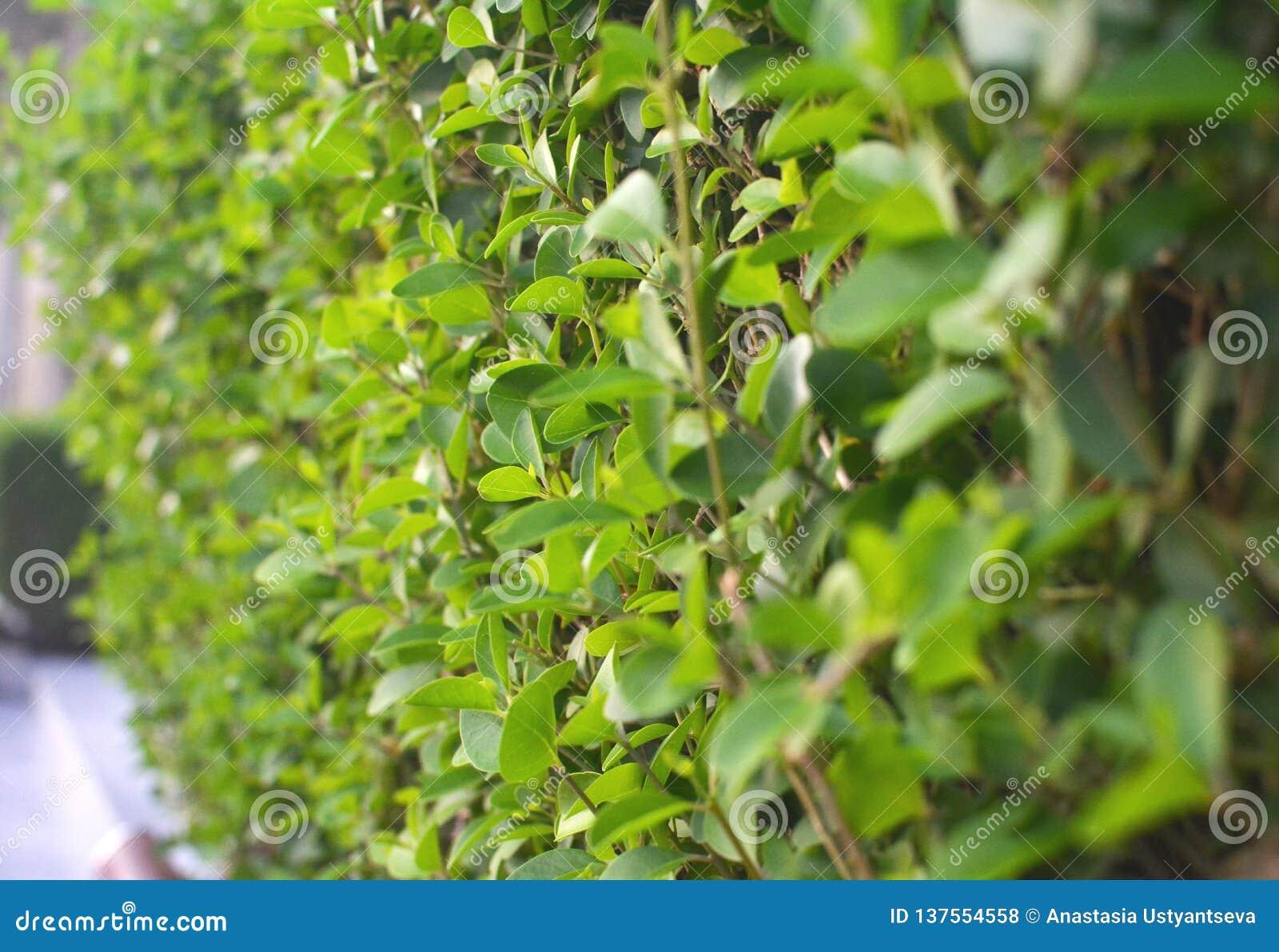 Zweige mit grünen Blättern Saftige Grüns