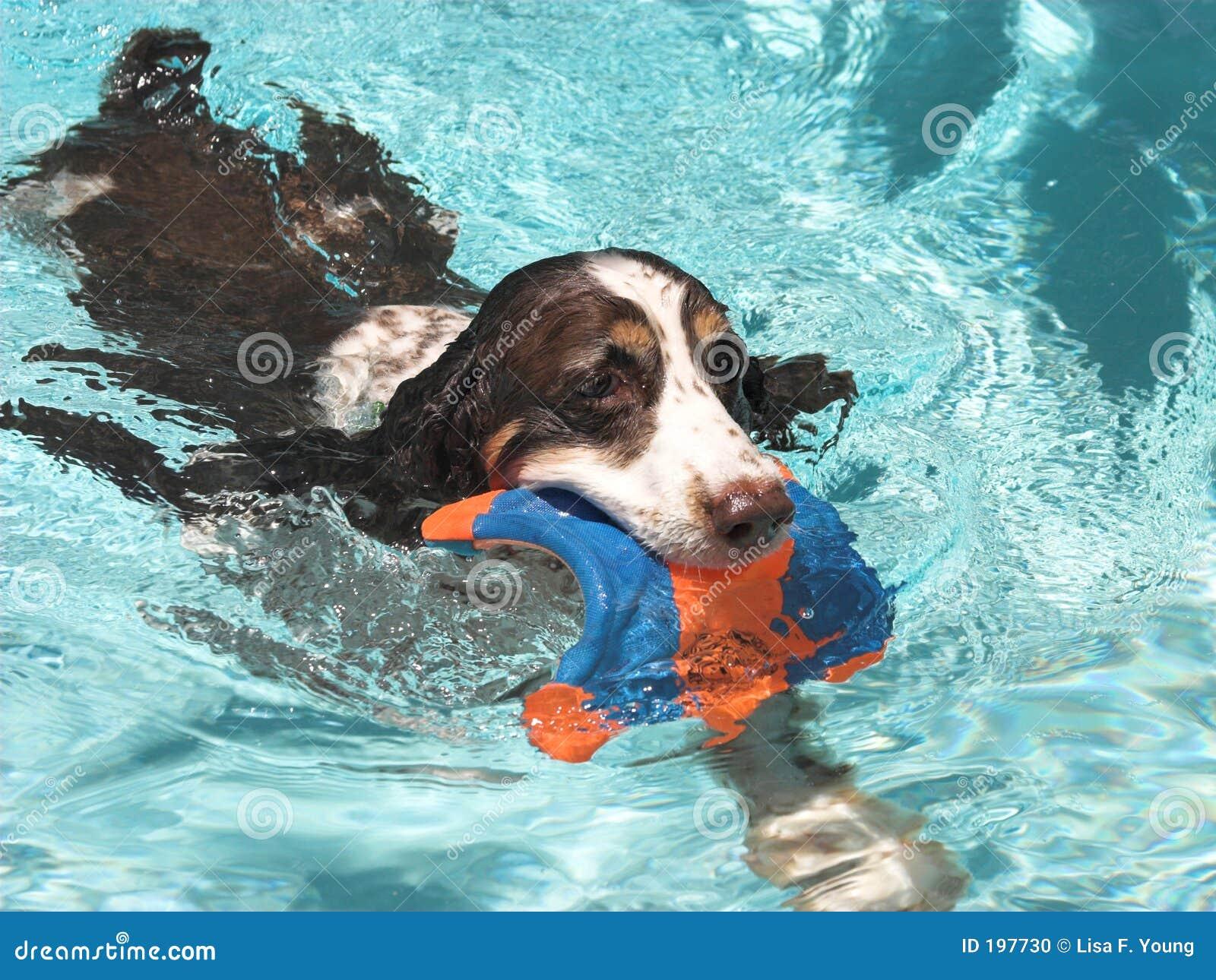 Zwemmend Spaniel