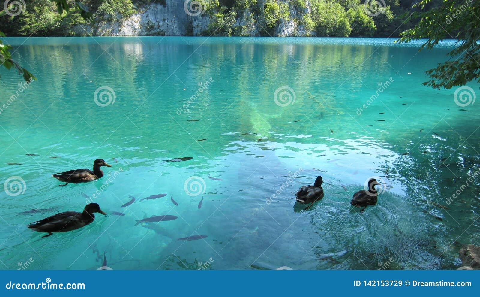 Zwemmende Paren in Plitvice Kroatië
